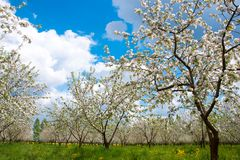 Apple Tree Blossom with White Flowers Royalty Free Stock Photography