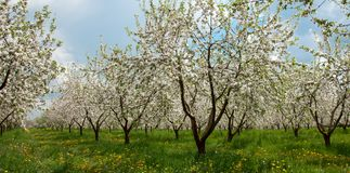 Apple Tree Blossom with White Flowers Royalty Free Stock Photos