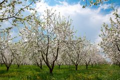 Apple Tree Blossom with White Flowers Stock Photos