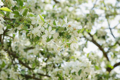 Apple tree blossom with white flowers Royalty Free Stock Photo