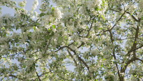 Apple tree in blossom stock video