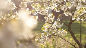 Apple tree blossom in wind stock footage
