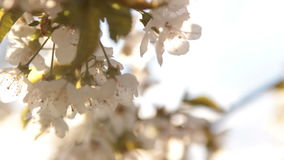 Apple tree blossom in wind stock video footage