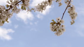 Apple tree blossom in wind stock video