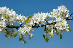 Apple tree blossoming branch Royalty Free Stock Photo