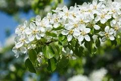 Apple tree blossoming branch Stock Photos