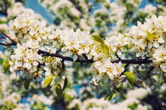 Apple tree blossoming branch Royalty Free Stock Photos