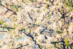 Apple tree blossoming branch Stock Photo
