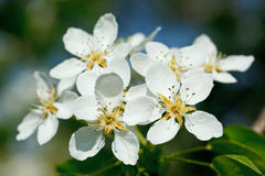 Apple tree blossoming flowers Stock Images