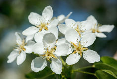 Apple tree blossoming flowers Royalty Free Stock Images
