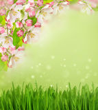 Apple tree blossoming, grass blurred background Royalty Free Stock Photo