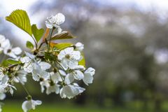 Apple tree blossoming in the park. Blooming twig on blurred background. Spring branch closeup royalty free stock photography