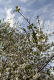 Apple-tree blossoming. Spring sky. Royalty Free Stock Photos
