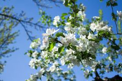 Apple tree blossoming under blue sky. Almaty, Kazakhstan. royalty free stock photos
