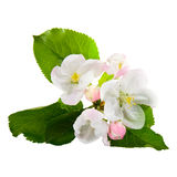 Apple-tree blossoms Royalty Free Stock Photos