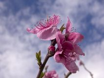 Apple tree blossoms. Apple tree blossom against a cloudy sky Royalty Free Stock Images
