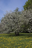 Apple tree with blossoms. In park Stock Photo