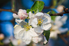 Apple tree blossoms. Beautiful flowers on the apple tree in nature. Apple blossoms in spring Stock Photo