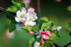 Apple tree blossoms. Beautiful flowers on the apple tree in nature. Apple blossoms in spring Royalty Free Stock Photos