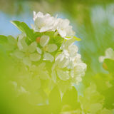 Apple tree blossoms blooming in spring Royalty Free Stock Images