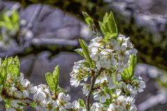 Apple Tree Blossoms Royalty Free Stock Photography