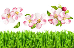 Apple tree blossoms and fresh green grass. Spring nature objects Stock Image