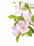 Apple tree blossoms Stock Photos