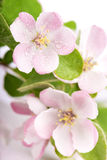 Apple tree blossoms Royalty Free Stock Image