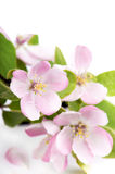 Apple tree blossoms Royalty Free Stock Photo