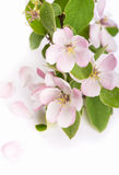 Apple tree blossoms Stock Image
