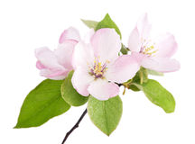Apple tree blossoms Royalty Free Stock Photos