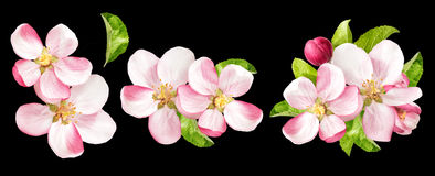 Apple tree blossoms with green leaves. Spring flowers Stock Images