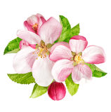 Apple tree blossoms with green leaves. Spring flowers royalty free stock photos