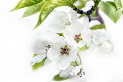 Apple Tree Blossoms Isolated on White Background. Spring Renewal Concept.  stock photography