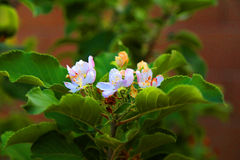 Apple tree blossoms Stock Photography