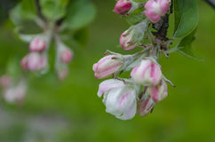 Apple tree blossoms. spring flowers. Stock Photography
