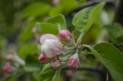 Apple tree blossoms. spring flowers. Royalty Free Stock Images
