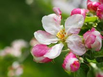 Apple tree blossoms in spring. Malus pumila flowers. Floral background. Apple tree blossoms spring malus pumila flowers floral background nature blooming fruit stock images
