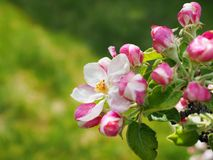 Apple tree blossoms in spring with space for text. Floral background. Malus pumila flowers. Apple tree blossoms spring space text floral background malus pumila stock photography