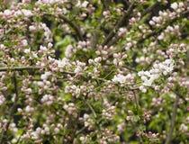 Apple tree blossoms on springtime Stock Photos
