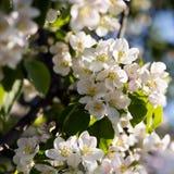 Apple tree blossoms Stock Photos