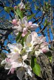 Apple Tree Blossoms royalty free stock images