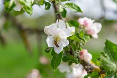 Apple tree blossoms. White apple tree blossoms on a sunny day royalty free stock images
