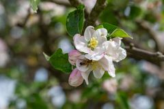 Apple tree blossoms. White apple tree blossoms on a sunny day stock photo