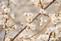 Apple tree blossoms. Apple tree white blossoms in spring royalty free stock photography