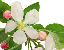 Apple Tree Blossum Stock Photos