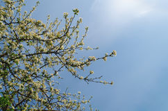 Apple tree on blue sky Royalty Free Stock Image