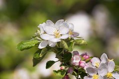 Apple tree bolssom. Bolssom on apple tree branch Royalty Free Stock Images