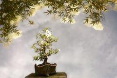Apple tree bonsai background stock image