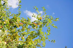 Apple tree branch Royalty Free Stock Images